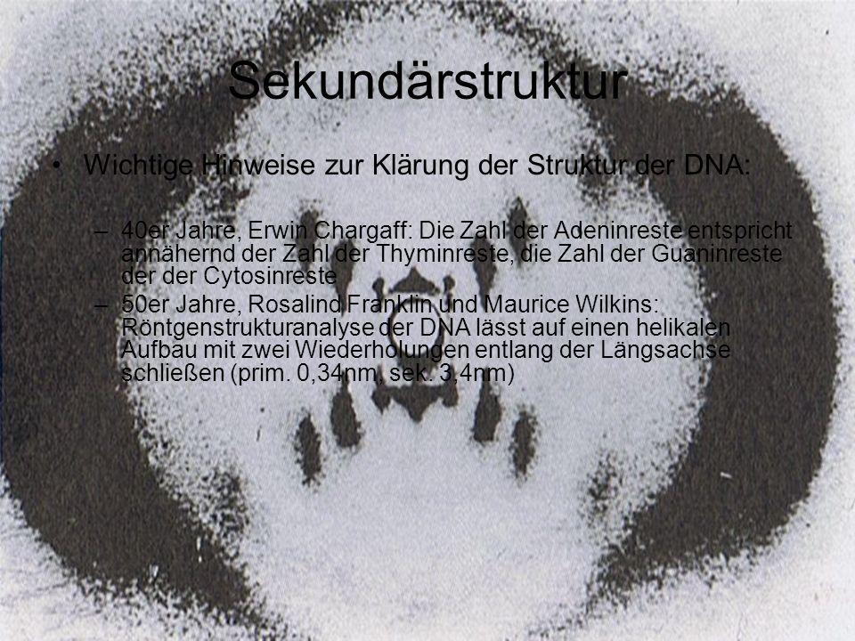 Sekundärstruktur Wichtige Hinweise zur Klärung der Struktur der DNA: –40er Jahre, Erwin Chargaff: Die Zahl der Adeninreste entspricht annähernd der Za