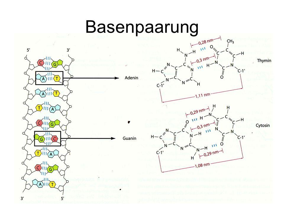 Zusätzlich zu den H-Brücken resultieren zwei Stapelungseffekte aus der Anordnung der Basen: –Die hydrophoben Basengruppen entziehen sich im Inneren der Helix dem Wasser.