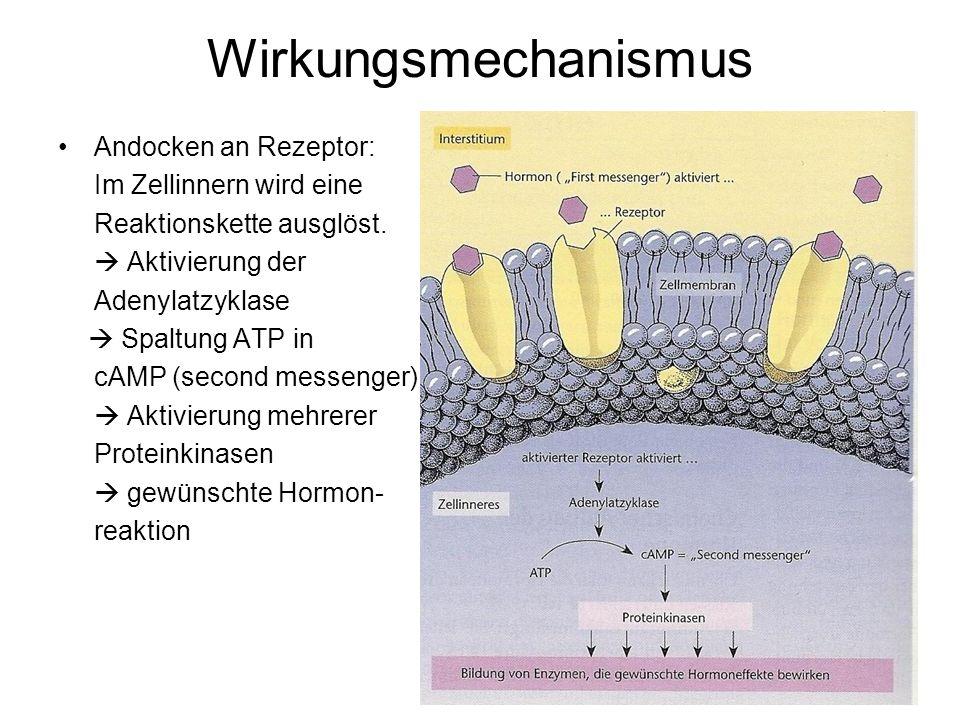 Wirkungsmechanismus Andocken an Rezeptor: Im Zellinnern wird eine Reaktionskette ausglöst.