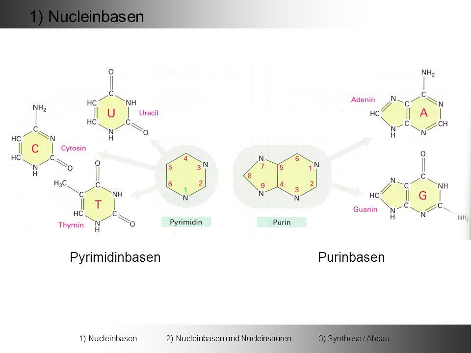 + RiboseCytosin Cytidin - H 2 O + RiboseAdenin Adenosin - H 2 O 2) Nucleinbasen und Nucleinsäuren 1) Nucleinbasen 2) Nucleinbasen und Nucleinsäuren 3) Synthese / Abbau