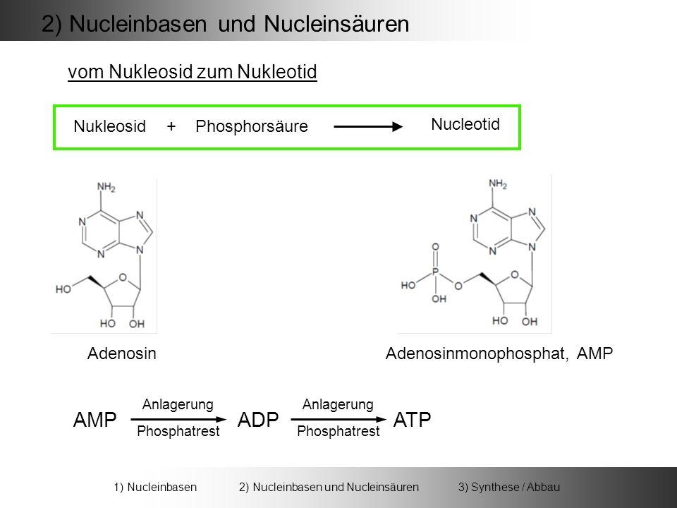 AdenosinAdenosinmonophosphat, AMP Nukleosid + Phosphorsäure Nucleotid AMP ADP ATP Anlagerung Phosphatrest 2) Nucleinbasen und Nucleinsäuren vom Nukleosid zum Nukleotid 1) Nucleinbasen 2) Nucleinbasen und Nucleinsäuren 3) Synthese / Abbau