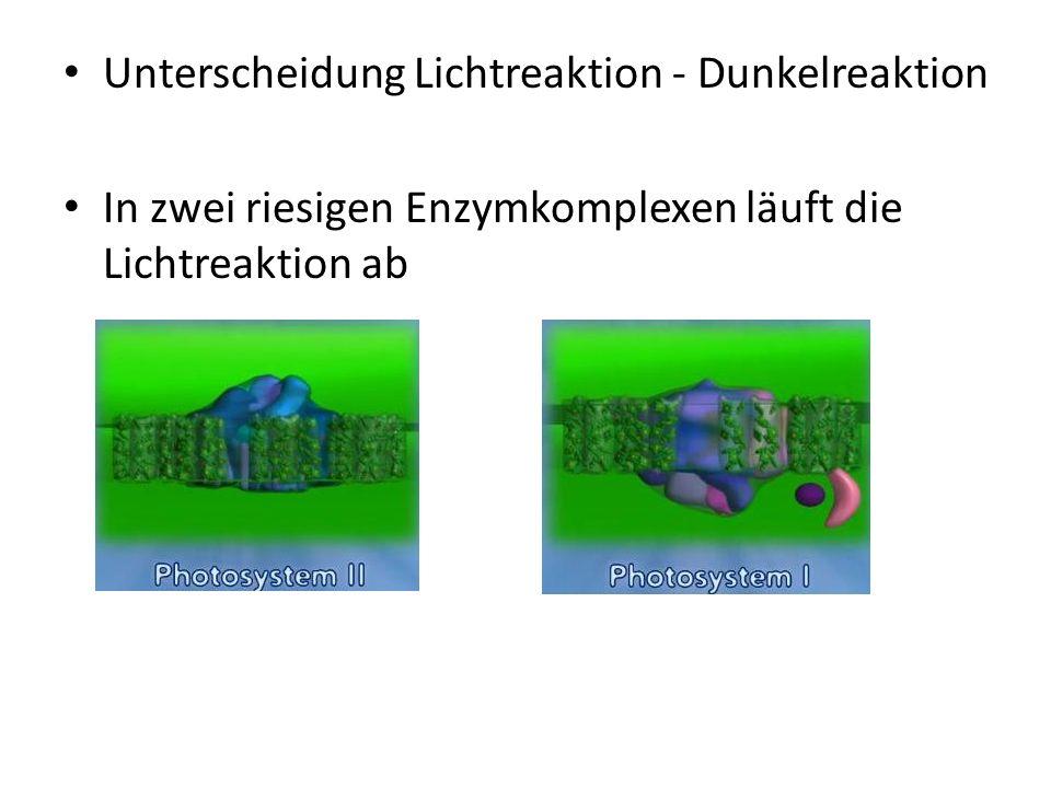 Unterscheidung Lichtreaktion - Dunkelreaktion In zwei riesigen Enzymkomplexen läuft die Lichtreaktion ab