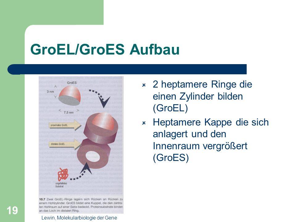 19 GroEL/GroES Aufbau 2 heptamere Ringe die einen Zylinder bilden (GroEL) Heptamere Kappe die sich anlagert und den Innenraum vergrößert (GroES) Lewin