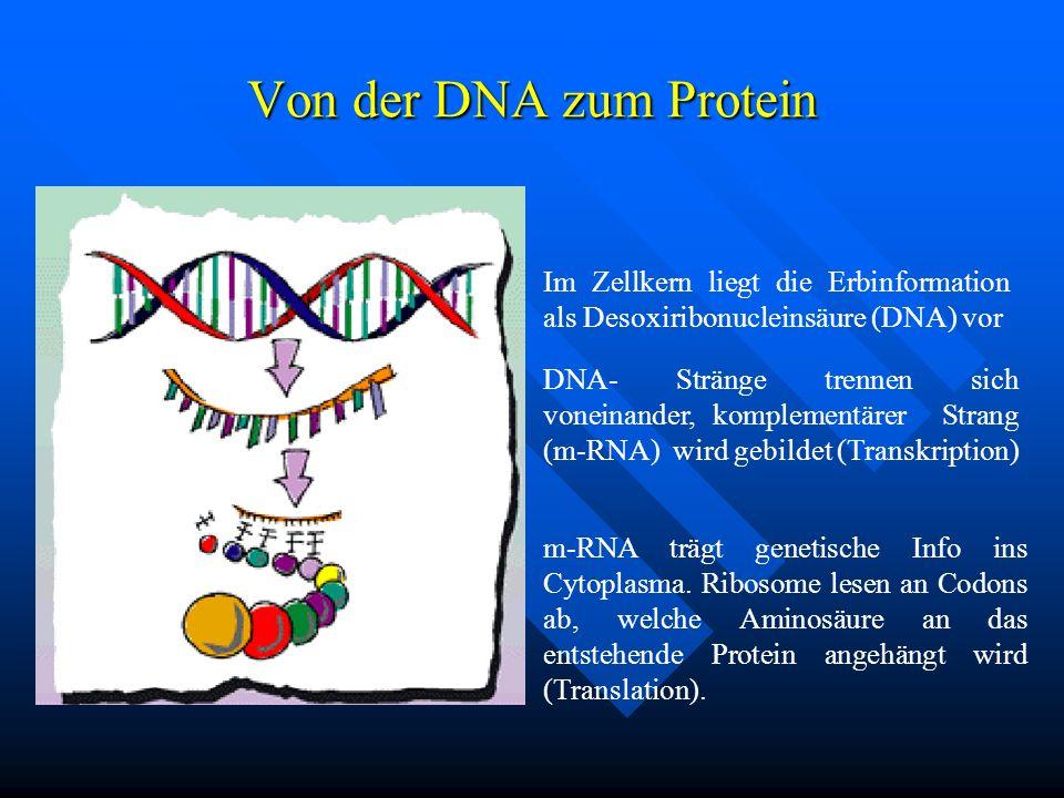 Von der DNA zum Protein Im Zellkern liegt die Erbinformation als Desoxiribonucleinsäure (DNA) vor DNA- Stränge trennen sich voneinander, komplementäre