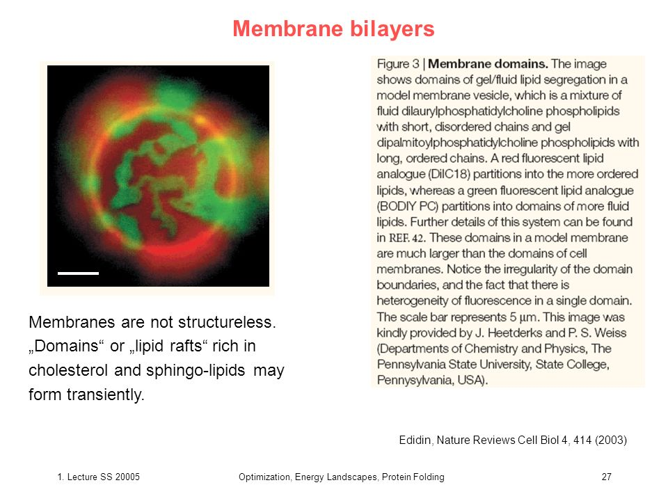 1. Lecture SS 20005Optimization, Energy Landscapes, Protein Folding27 Membrane bilayers Edidin, Nature Reviews Cell Biol 4, 414 (2003) Membranes are n