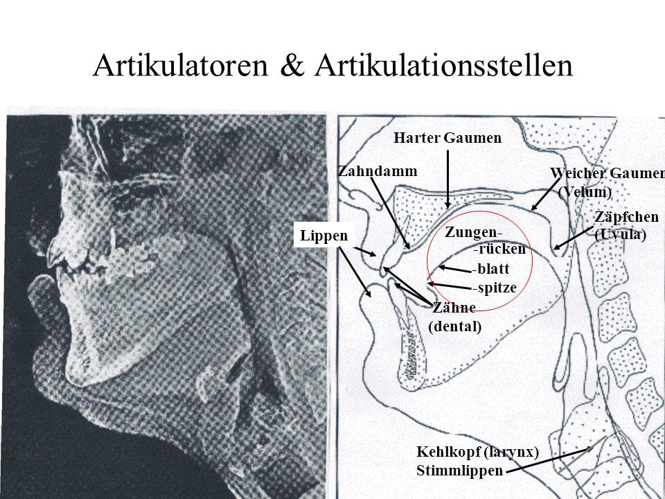 Artikulatoren & Artikulationsstellen Harter Gaumen Weicher Gaumen (Velum) Zäpfchen (Uvula) Zahndamm Lippen Kehlkopf (larynx) Stimmlippen Zähne (dental) Zungen- -spitze -blatt -rücken