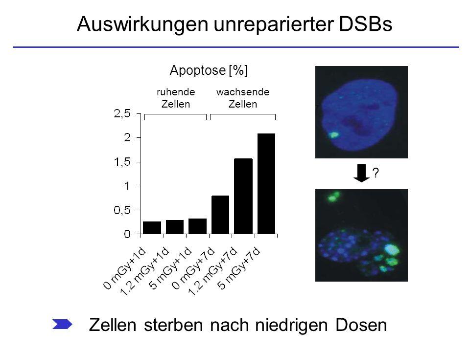 Auswirkungen unreparierter DSBs Apoptose [%] ruhende Zellen wachsende Zellen Zellen sterben nach niedrigen Dosen ?