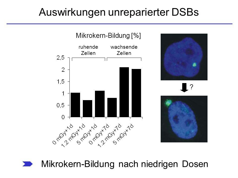 Auswirkungen unreparierter DSBs Mikrokern-Bildung [%] ruhende Zellen wachsende Zellen Mikrokern-Bildung nach niedrigen Dosen ?
