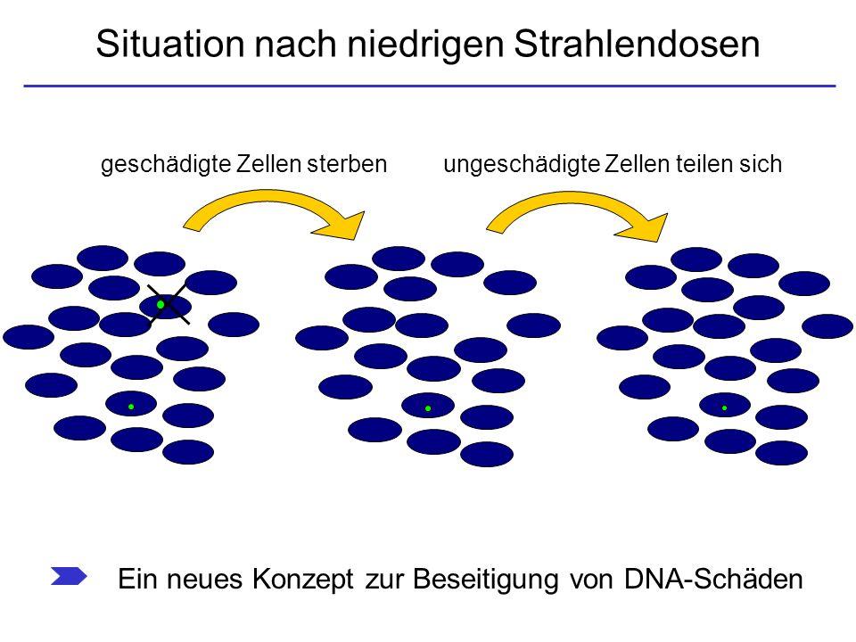 Situation nach niedrigen Strahlendosen geschädigte Zellen sterben ungeschädigte Zellen teilen sich Ein neues Konzept zur Beseitigung von DNA-Schäden