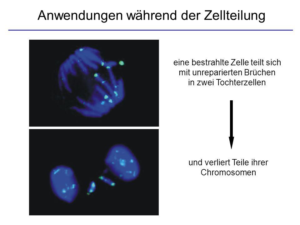 Anwendungen während der Zellteilung eine bestrahlte Zelle teilt sich mit unreparierten Brüchen in zwei Tochterzellen und verliert Teile ihrer Chromoso