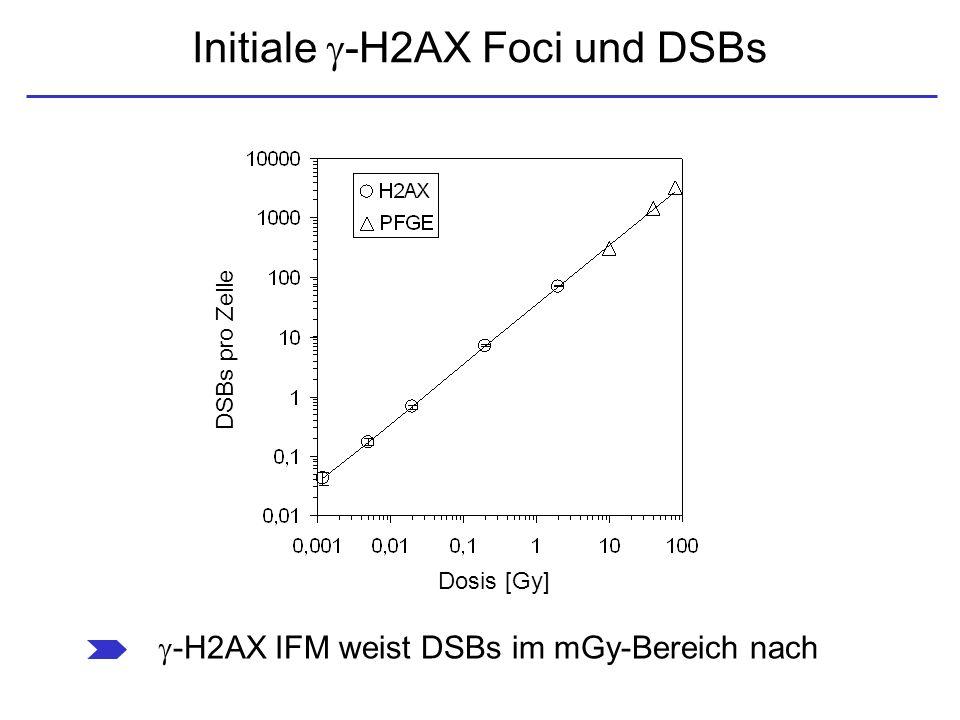 Initiale -H2AX Foci und DSBs -H2AX IFM weist DSBs im mGy-Bereich nach Dosis [Gy] DSBs pro Zelle