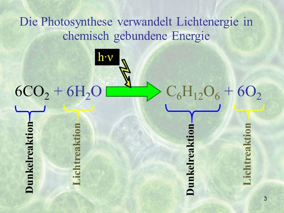3 Die Photosynthese verwandelt Lichtenergie in chemisch gebundene Energie 6CO 2 + 6H 2 OC 6 H 12 O 6 + 6O 2 Dunkelreaktion Lichtreaktion h·ν