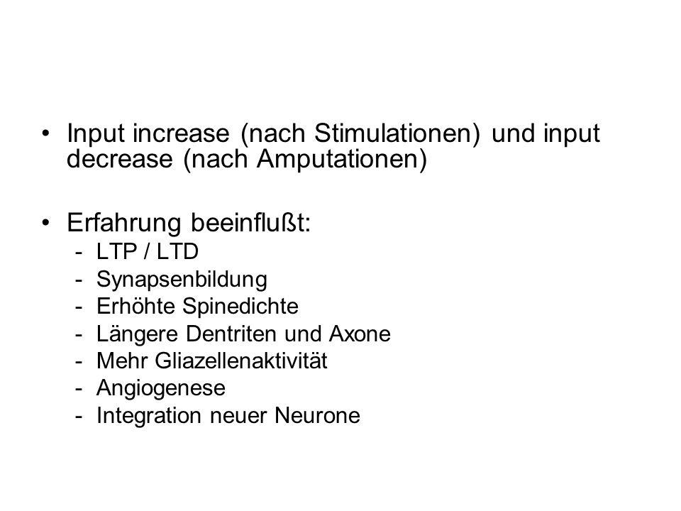 Input increase (nach Stimulationen) und input decrease (nach Amputationen) Erfahrung beeinflußt: -LTP / LTD -Synapsenbildung -Erhöhte Spinedichte -Län
