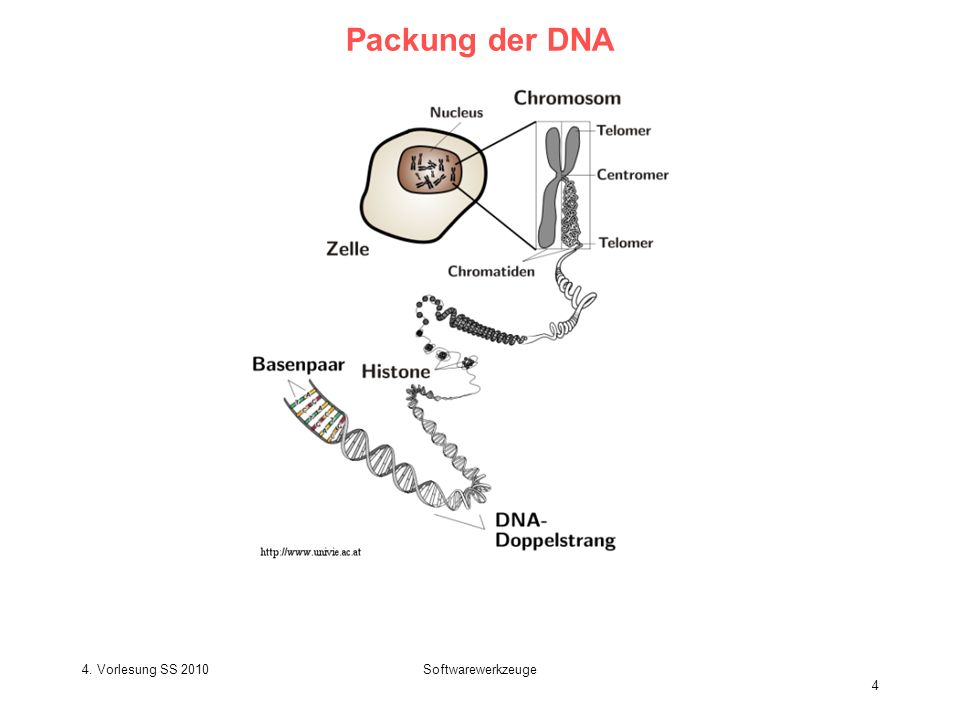 SS 2009 – lecture 1 Biological Sequence Analysis 5 Transkription durch RNA Polymerase II Tamkun J.