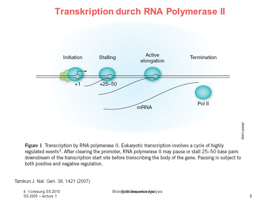 SS 2009 – lecture 1 Biological Sequence Analysis 5 Transkription durch RNA Polymerase II Tamkun J. Nat. Gen. 39, 1421 (2007) 4. Vorlesung SS 2010 5 So