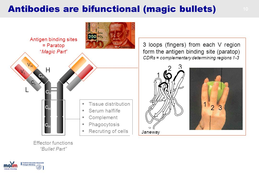 10 Antibodies are bifunctional (magic bullets) H L VLVL VHVH CLCL CHCH CHCH Antigen binding sites = Paratop Magic Part CHCH CHCH Effector functions Bu