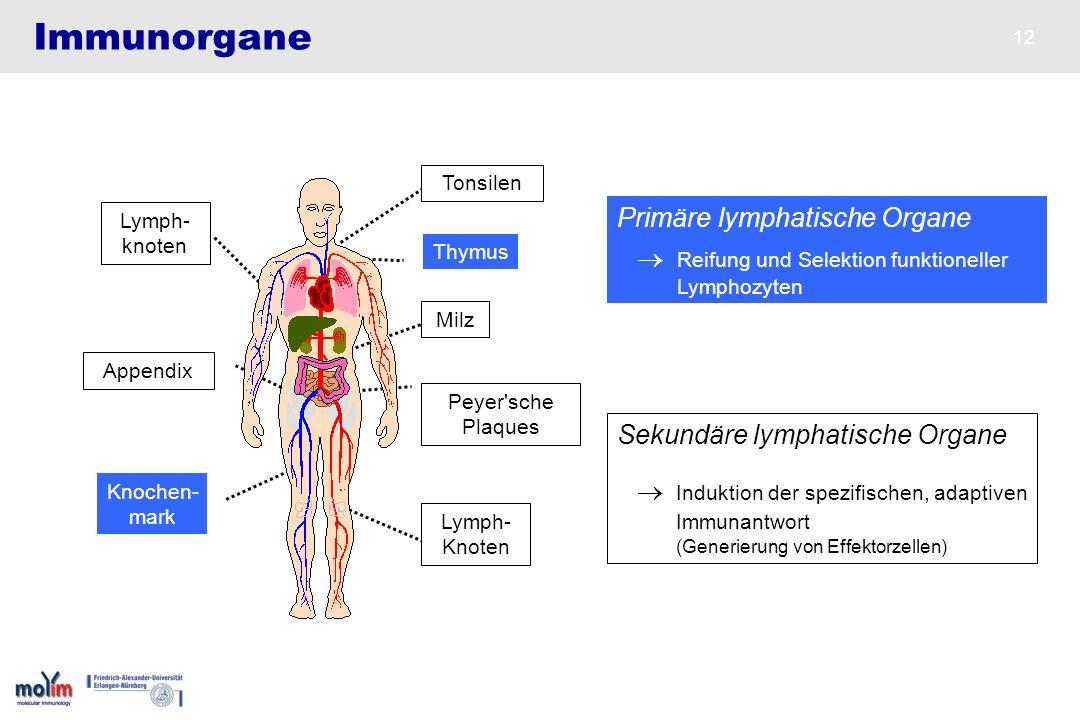 12 Immunorgane Lymph- knoten Peyer'sche Plaques Milz Appendix Tonsilen Lymph- Knoten Sekundäre lymphatische Organe Induktion der spezifischen, adaptiv
