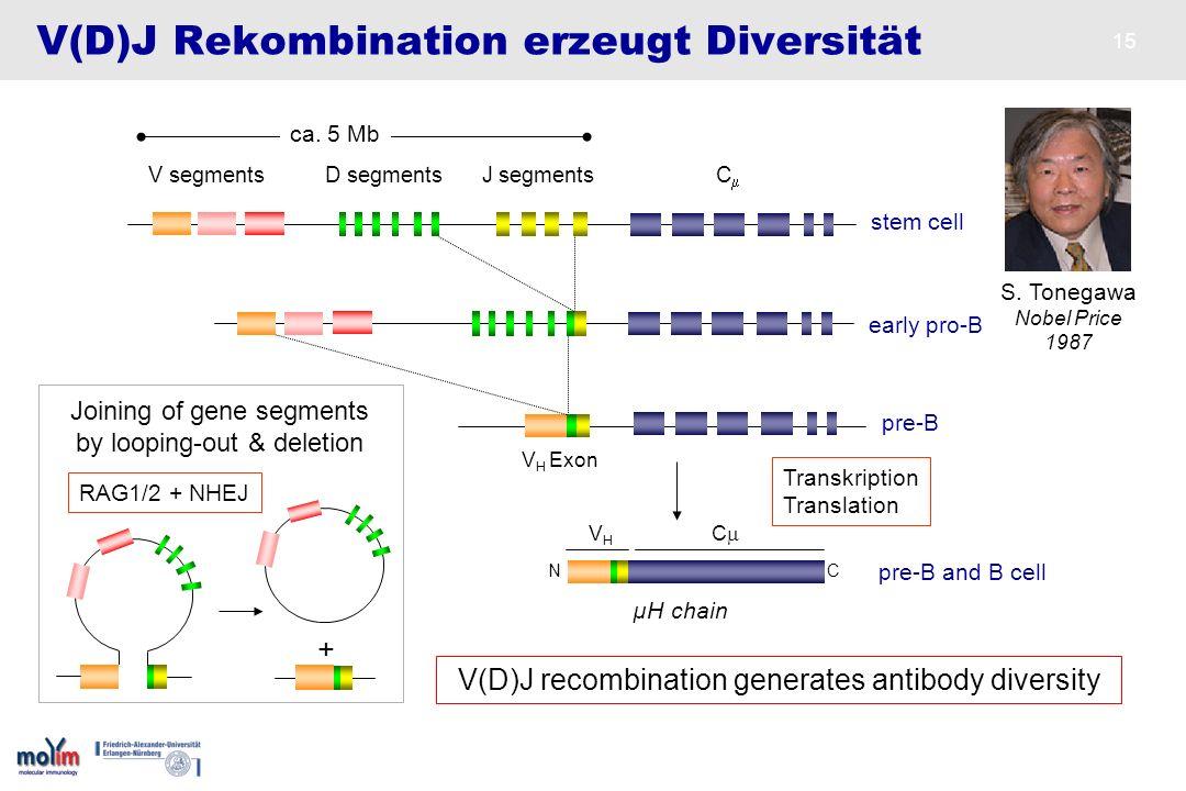 15 V(D)J Rekombination erzeugt Diversität stem cell J segmentsC V segments D segments µH chain N C pre-B and B cell S. Tonegawa Nobel Price 1987 ca. 5