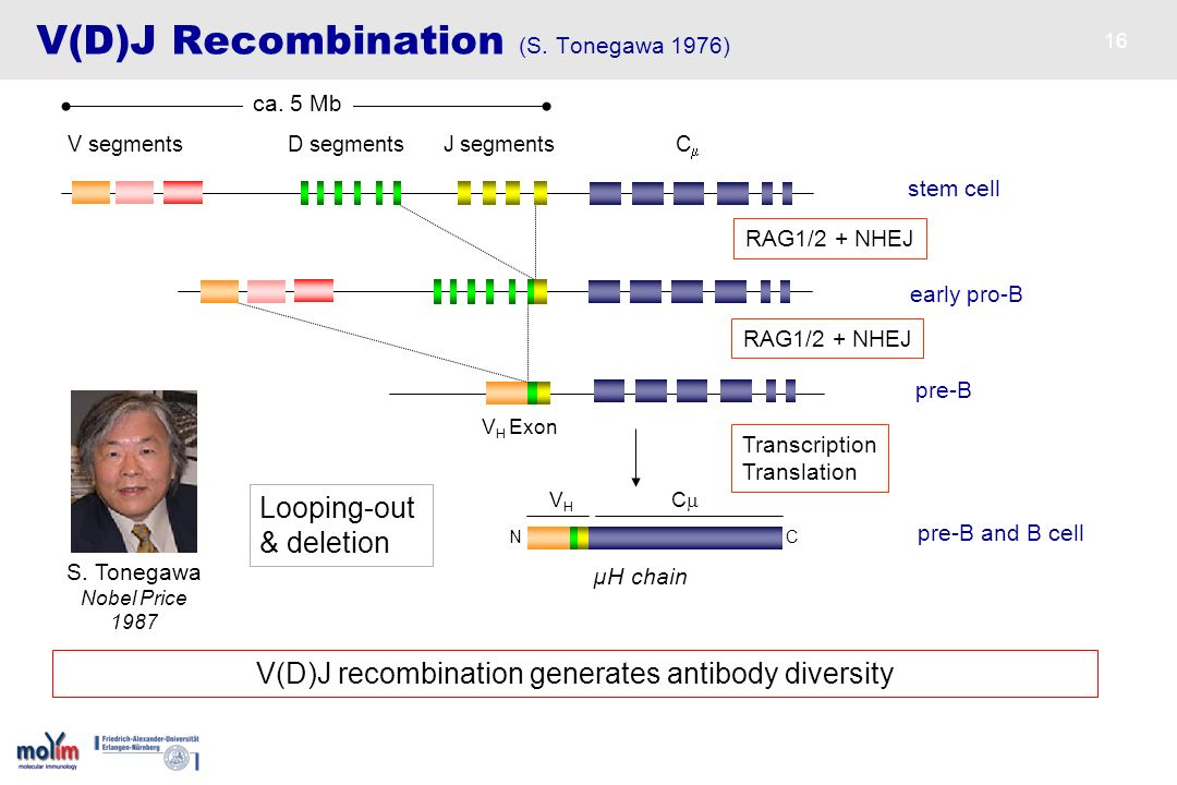 16 V(D)J Recombination (S. Tonegawa 1976) stem cell J segmentsC V segments D segments µH chain N C pre-B and B cell RAG1/2 + NHEJ V(D)J recombination