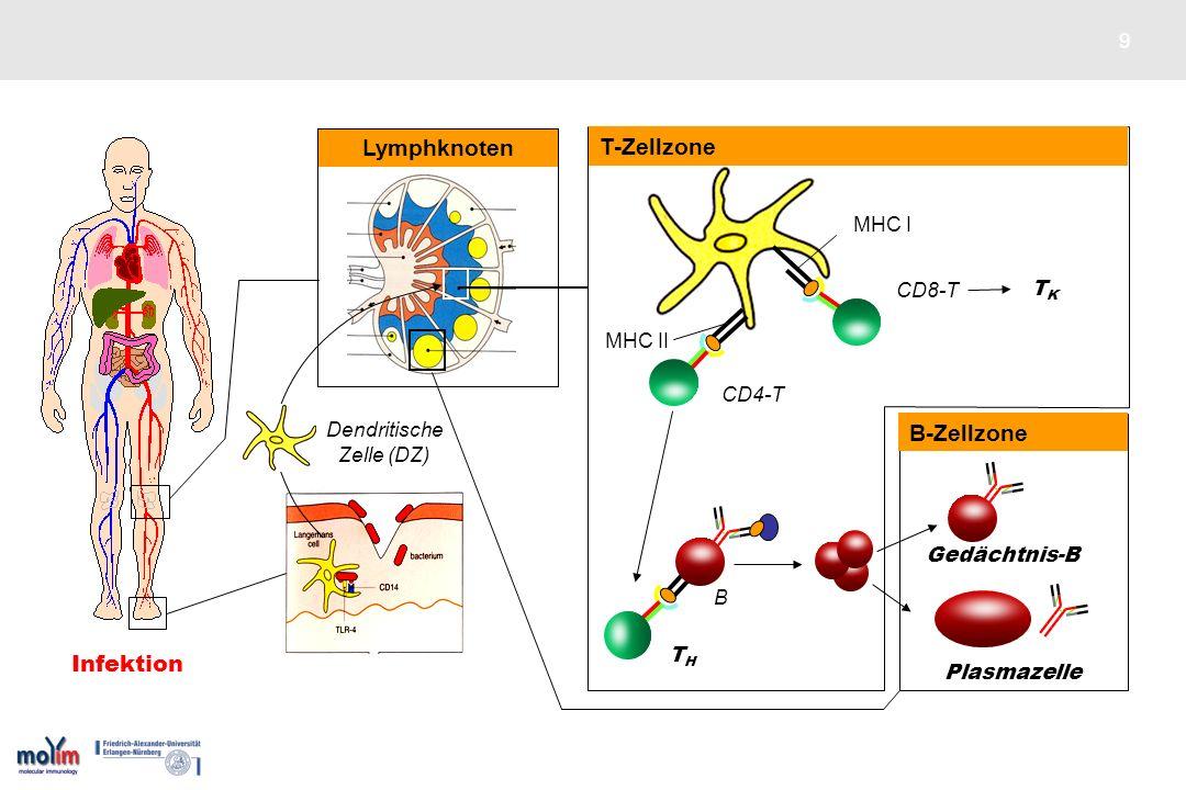 9 THTH Lymphknoten Dendritische Zelle (DZ) CD4-T CD8-T MHC II MHC I DZ TKTK MHC II T-Zellzone B Plasmazelle Gedächtnis-B B-Zellzone Infektion