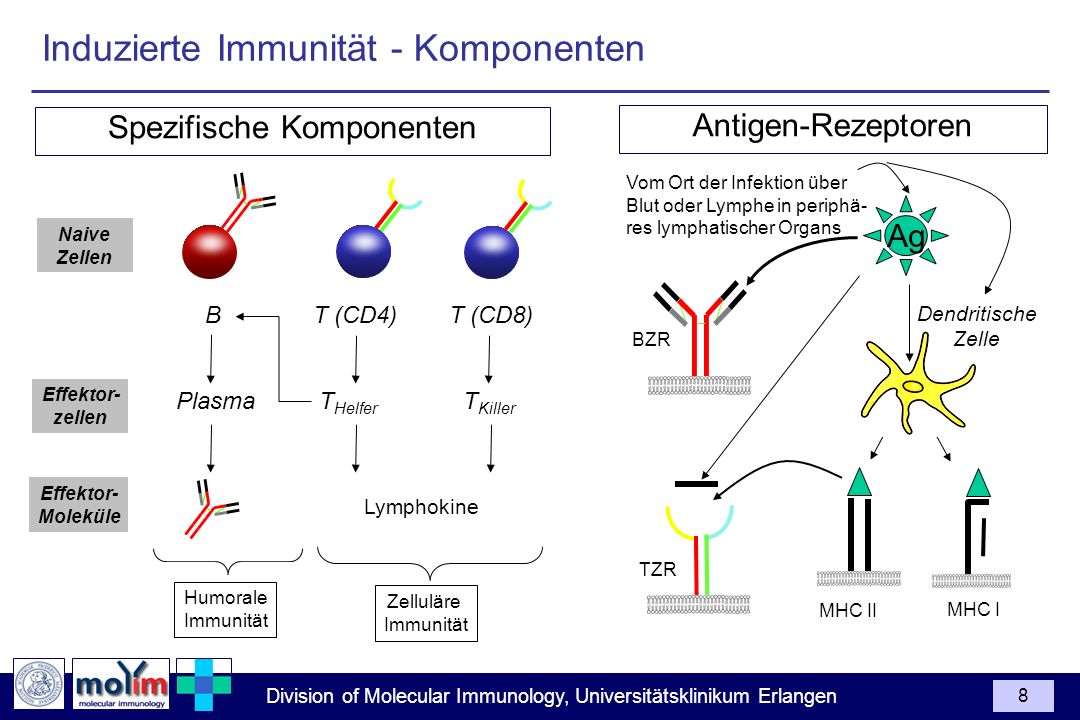 Division of Molecular Immunology, Universitätsklinikum Erlangen 8 Spezifische Komponenten Humorale Immunität Zelluläre Immunität Antigen-Rezeptoren BZR TZR Ag T Helfer T Killer Effektor- zellen Lymphokine Effektor- Moleküle Induzierte Immunität - Komponenten MHC II MHC I Plasma Vom Ort der Infektion über Blut oder Lymphe in periphä- res lymphatischer Organs B T (CD8)T (CD4) Naive Zellen Dendritische Zelle