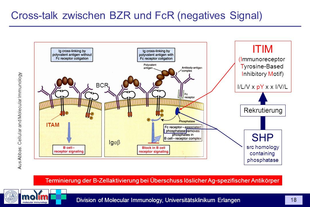 Division of Molecular Immunology, Universitätsklinikum Erlangen 18 Cross-talk zwischen BZR und FcR (negatives Signal) Aus Abbas: Cellular and Molecula