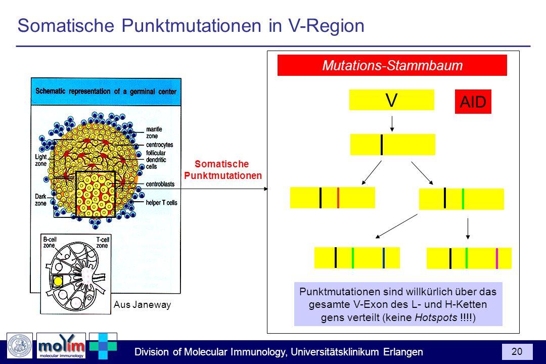 Division of Molecular Immunology, Universitätsklinikum Erlangen 20 Aus Janeway Punktmutationen sind willkürlich über das gesamte V-Exon des L- und H-K
