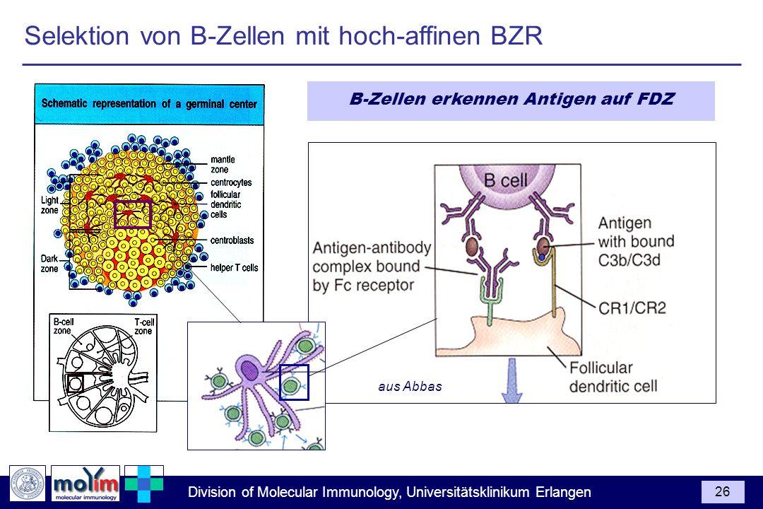Division of Molecular Immunology, Universitätsklinikum Erlangen 26 Selektion von B-Zellen mit hoch-affinen BZR B-Zellen erkennen Antigen auf FDZ aus A