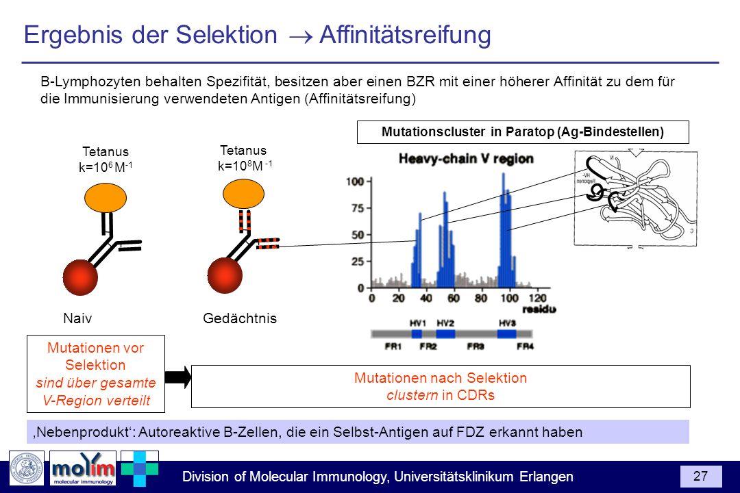 Division of Molecular Immunology, Universitätsklinikum Erlangen 27 B-Lymphozyten behalten Spezifität, besitzen aber einen BZR mit einer höherer Affini
