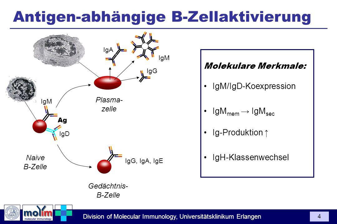 Division of Molecular Immunology, Universitätsklinikum Erlangen 4 Plasma- zelle Gedächtnis- B-Zelle Ag IgM IgD Naive B-Zelle Molekulare Merkmale: IgM/