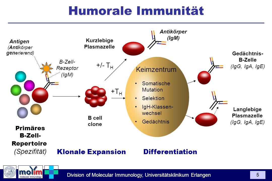 Division of Molecular Immunology, Universitätsklinikum Erlangen 5 Langlebige Plasmazelle (IgG, IgA, IgE) Antikörper (IgM) B-Zell- Rezeptor (IgM) Antig