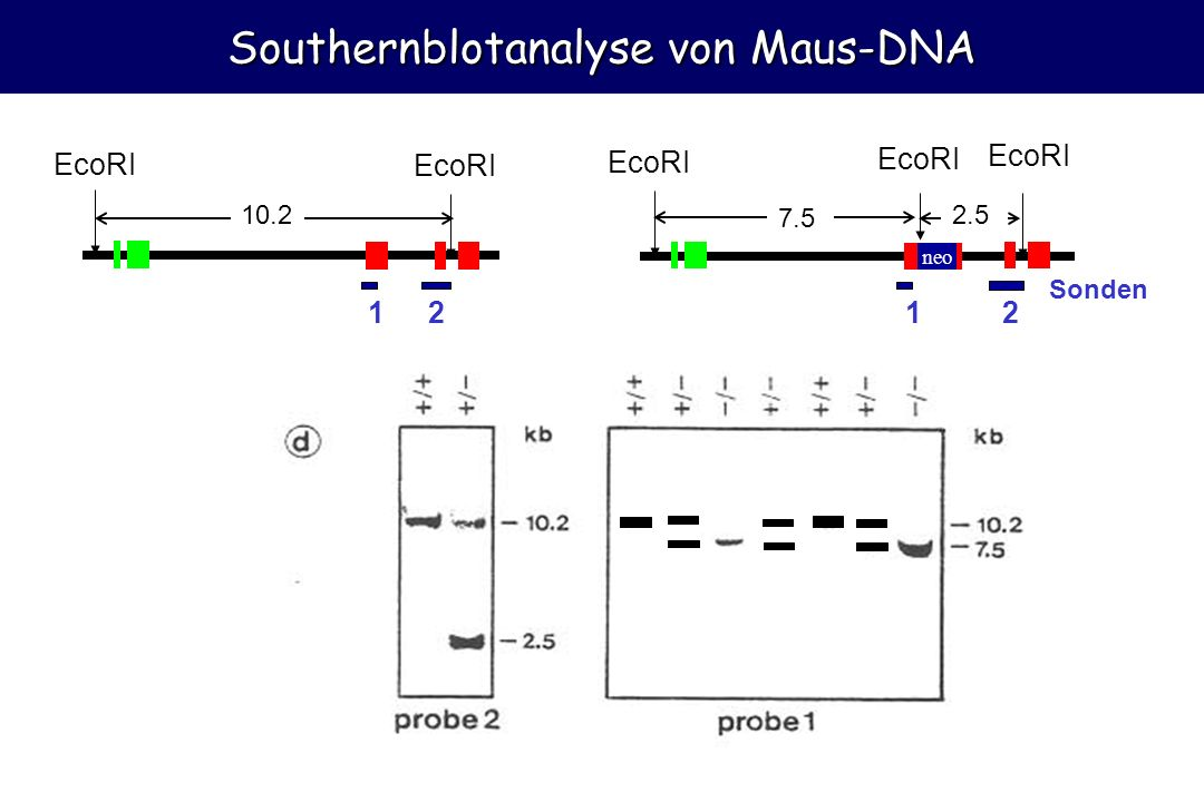 10 Southernblotanalyse von Maus-DNA EcoRI 12 10.2 neo 12 EcoRI 7.5 2.5 Sonden