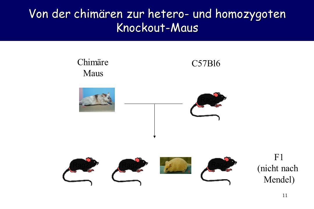 11 Von der chimären zur hetero- und homozygoten Knockout-Maus Chimäre Maus Rag2 -/- C57Bl6 Rag2 -/- F1 (nicht nach Mendel)