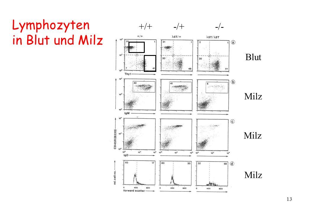 13 Blut Milz +/+ -/+ -/- Milz Lymphozyten in Blut und Milz