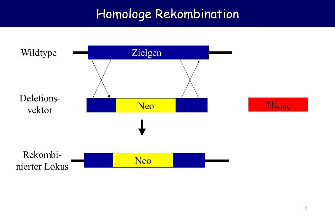 2 Homologe Rekombination Zielgen Neo Wildtype Deletions- vektor Rekombi- nierter Lokus TK HSV