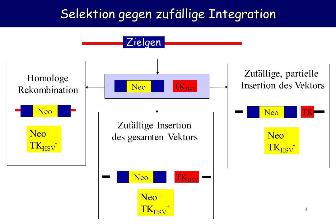 4 Selektion gegen zufällige Integration Zielgen Neo TK HSV Neo Homologe Rekombination Neo + TK HSV - Neo TK HSV Zufällige Insertion des gesamten Vekto