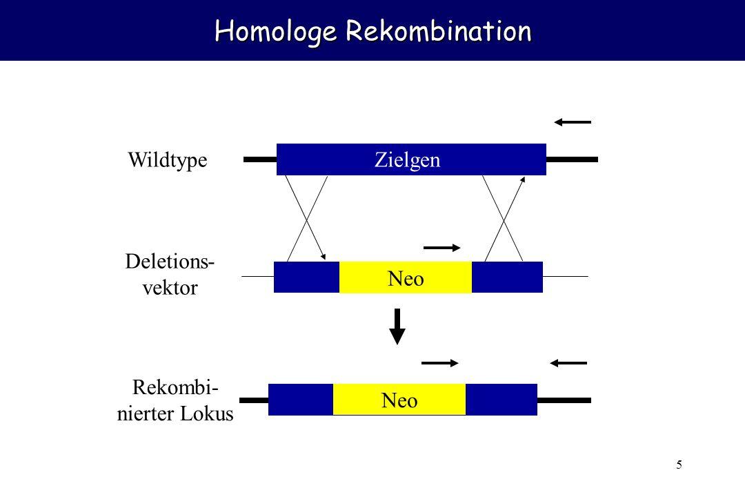 5 Homologe Rekombination Zielgen Neo Wildtype Deletions- vektor Rekombi- nierter Lokus