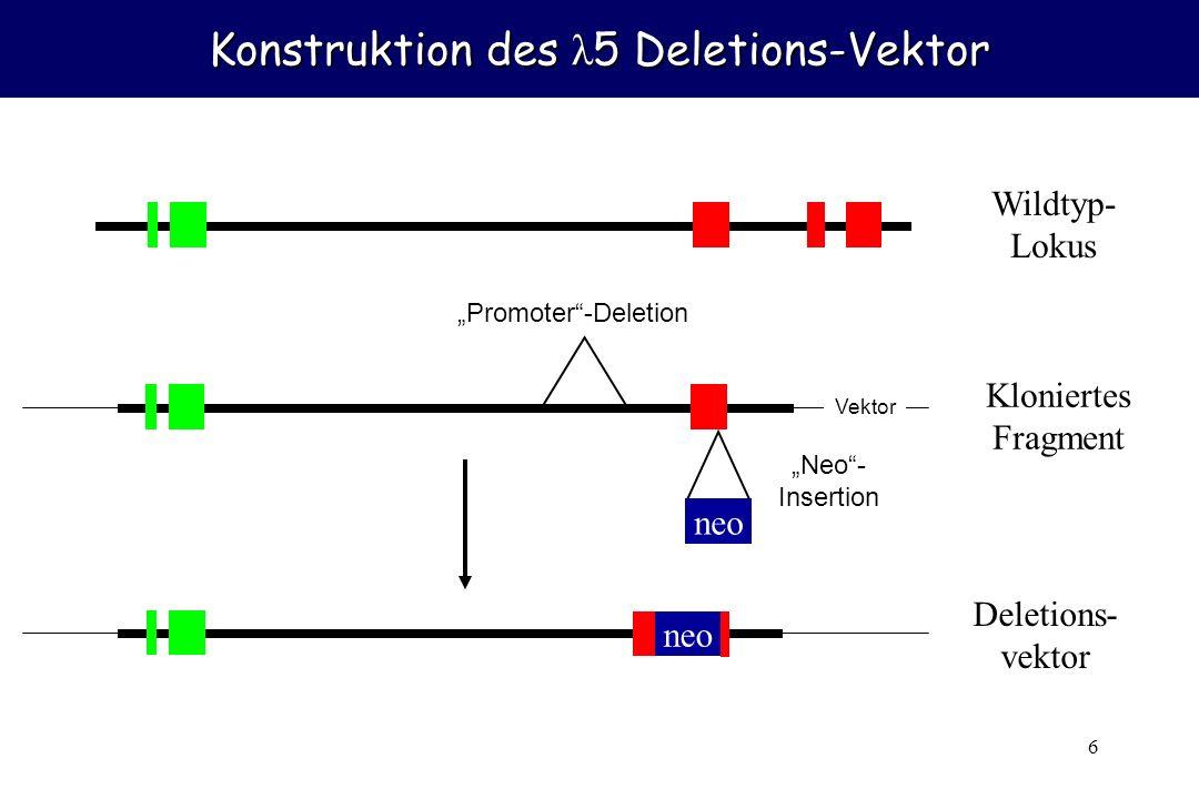 7 Homologe Rekombination neo Deletions- vektor Wildtyp- Lokus neo Deletierter Lokus PCR