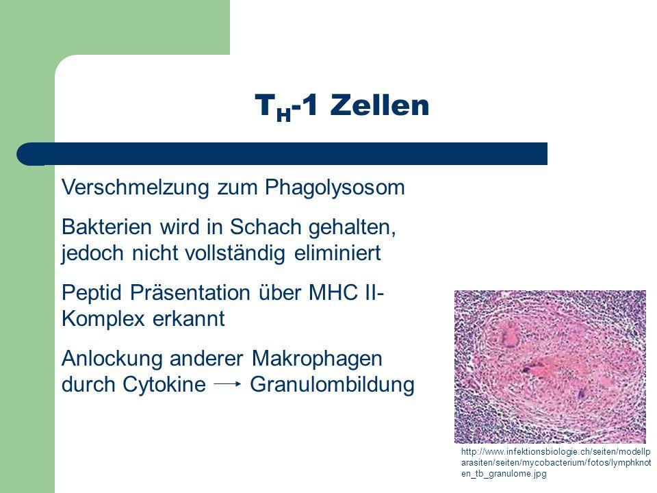 Verschmelzung zum Phagolysosom Bakterien wird in Schach gehalten, jedoch nicht vollständig eliminiert Peptid Präsentation über MHC II- Komplex erkannt
