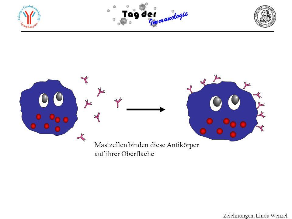 Tag der Immunologie Kommen diese beladenen Mastzellen nun mit dem Antigen in Kontakt werden sie aktiviert Histamin u.a.