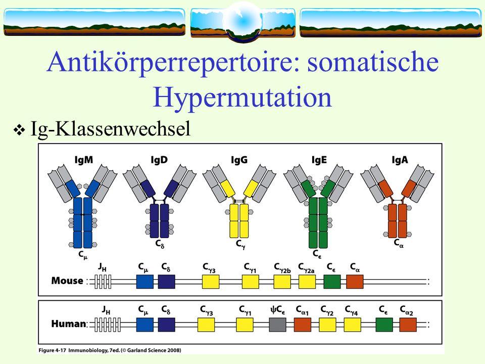 Antikörperrepertoire: somatische Hypermutation Ig-Klassenwechsel