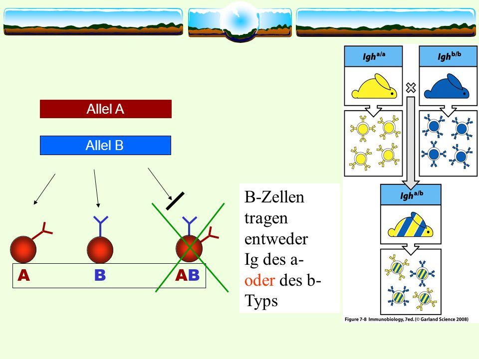 Allel A Allel B A B AB B-Zellen tragen entweder Ig des a- oder des b- Typs