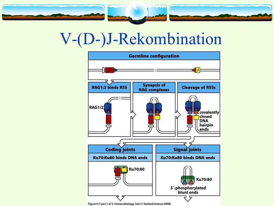 V-(D-)J-Rekombination