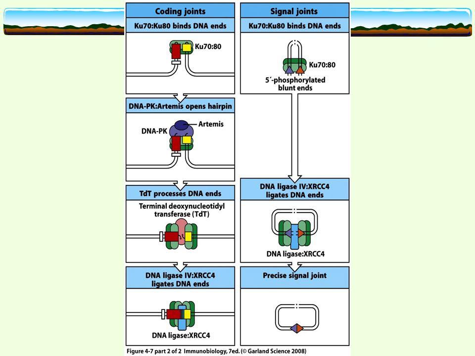 Antikörperrepertoire: kombinatorische Diversität Kombination von 2 möglichen leichten Ketten und einer schweren Kette ca.