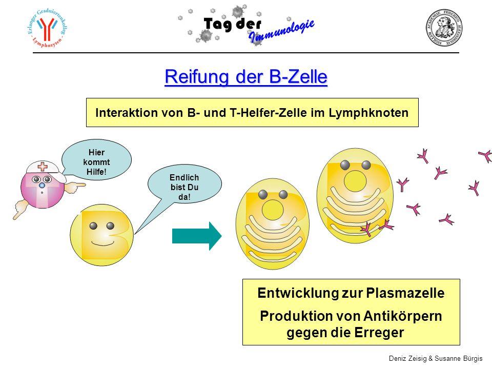 Reifung der B-Zelle Interaktion von B- und T-Helfer-Zelle im Lymphknoten Tag der Immunologie Deniz Zeisig & Susanne Bürgis Entwicklung zur Plasmazelle Produktion von Antikörpern gegen die Erreger Endlich bist Du da.