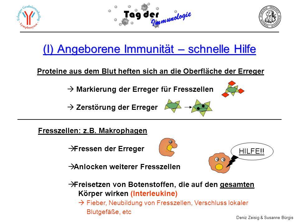 (I) Angeborene Immunität – schnelle Hilfe Fresszellen: z.B. Makrophagen Fressen der Erreger Anlocken weiterer Fresszellen Freisetzen von Botenstoffen,