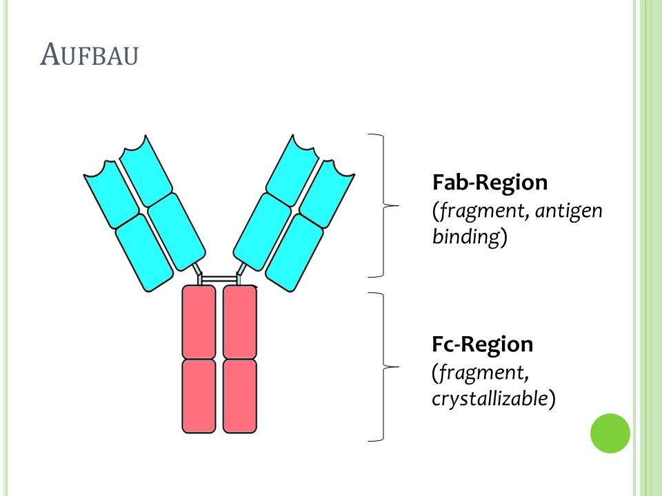 A UFBAU Fc-Region (fragment, crystallizable) Fab-Region (fragment, antigen binding)