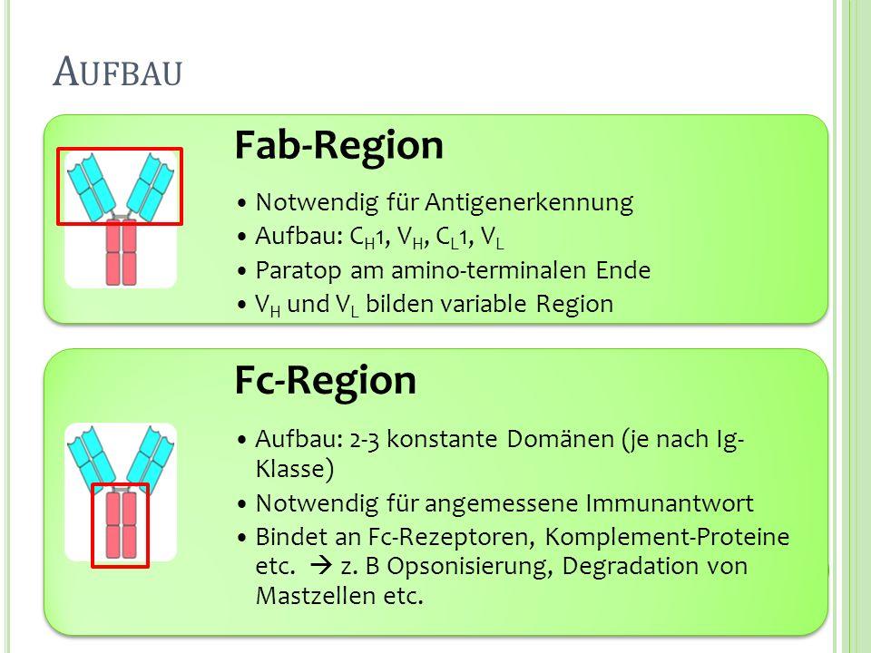 Fab-Region Notwendig für Antigenerkennung Aufbau: C H 1, V H, C L 1, V L Paratop am amino-terminalen Ende V H und V L bilden variable Region Fc-Region