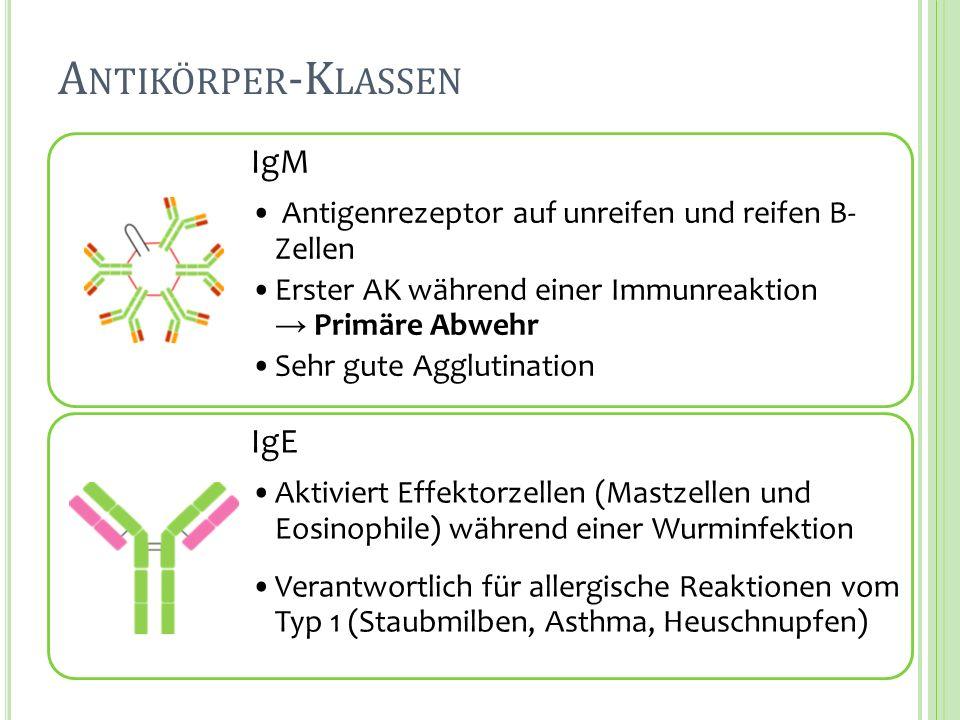 A NTIKÖRPER -K LASSEN IgM Antigenrezeptor auf unreifen und reifen B- Zellen Erster AK während einer Immunreaktion Primäre Abwehr Sehr gute Agglutinati