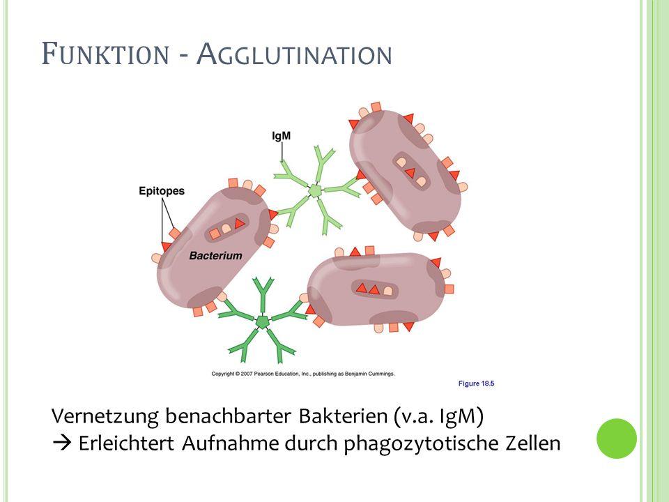 F UNKTION - A GGLUTINATION Vernetzung benachbarter Bakterien (v.a. IgM) Erleichtert Aufnahme durch phagozytotische Zellen
